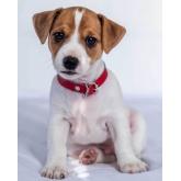 Deka mikroflanel s digitálním tiskem Jack Russel Terrier 120/150